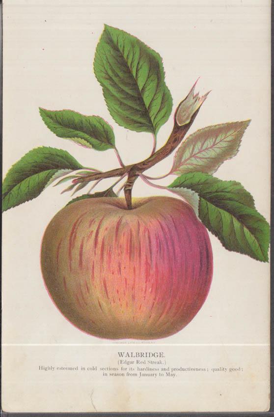 Stecher chromolithograph fruit plate 1880s: Walbridge Edgar Red Streak Apple