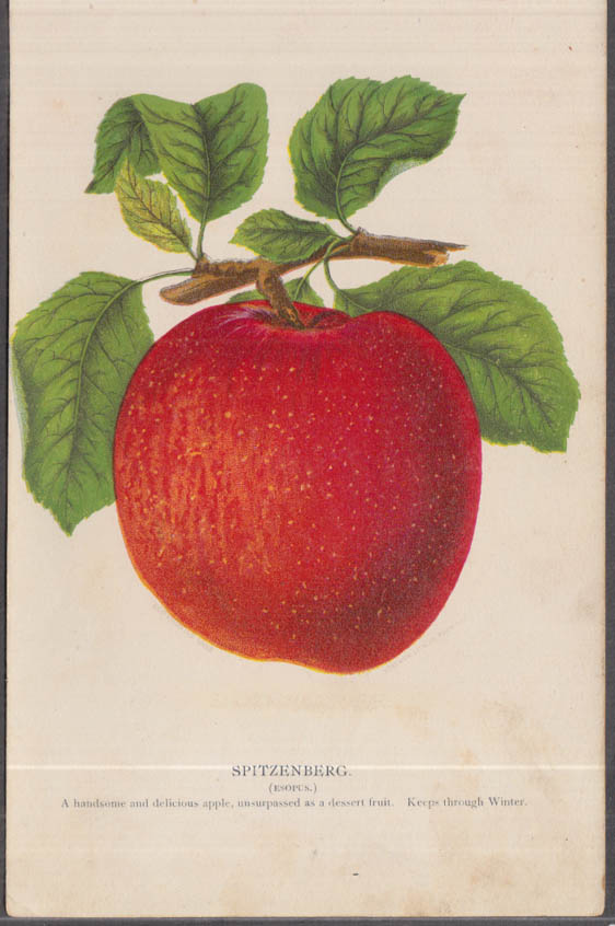 Stecher chromolithograph fruit plate 1880s: Spitzenberg Esopus Apple