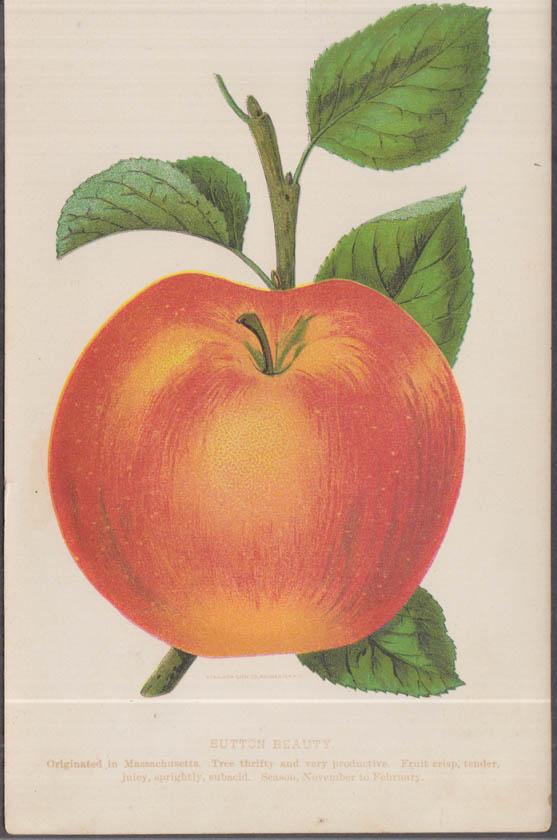 Stecher chromolithograph fruit plate 1880s: Sutton Beauty Apple