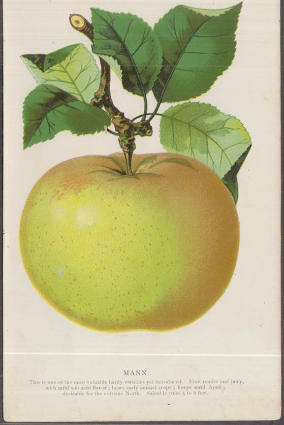 Stecher chromolithograph fruit plate 1880s: Mann Apple