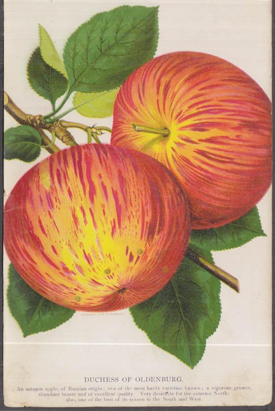Stecher chromolithograph fruit plate 1880s: Duchess of Oldenburg Apple