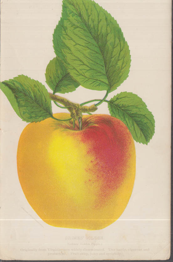 Stecher chromolithograph fruit plate 1880s: Grimes' Golden Pippin Apple