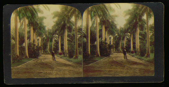 Avenue Royal Palms Honolulu Hawaii 1900 stereoview