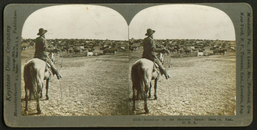 Cattle Roundup Sherman Ranch Geneseo KS stereoview 1909