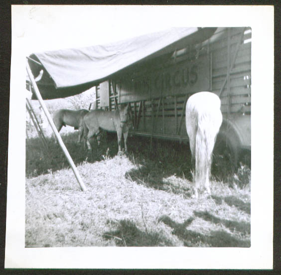 Palominos Biller Bros Circus Pittsfield MA photo 1950
