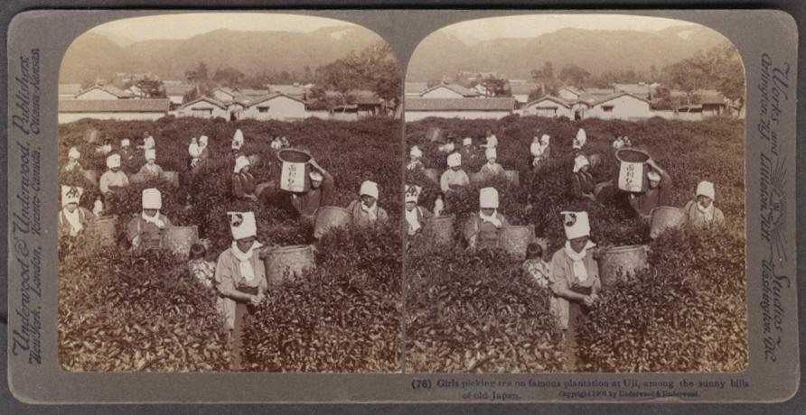 Girl tea pickers Uji Plantation Japan stereoview 1904
