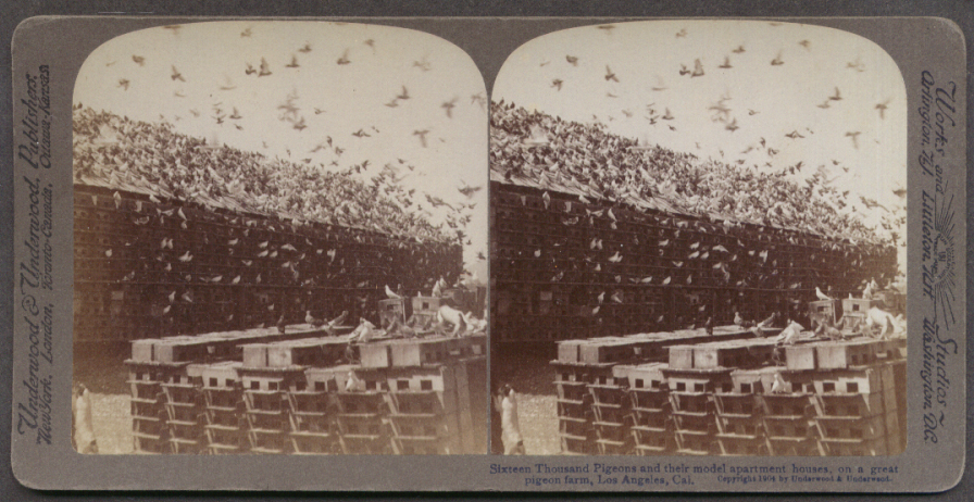 16,000 pigeons on farm Los Angeles CA stereoview 1904