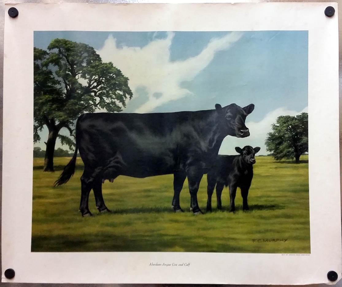 Aberdeen Black Angus Cow & Calf by F C Murphy poster 1971