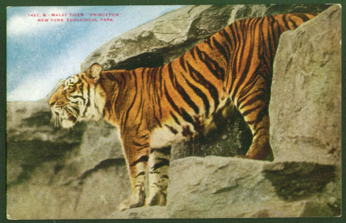 Malay Tiger Princeton Bronx Zoo NYC postcard 1920s