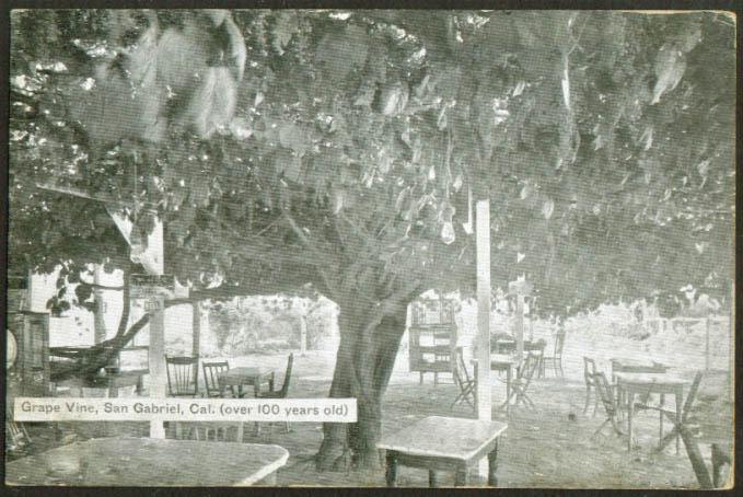 100-year-old Grape Vine at San Gabriel CA postcard 1910s