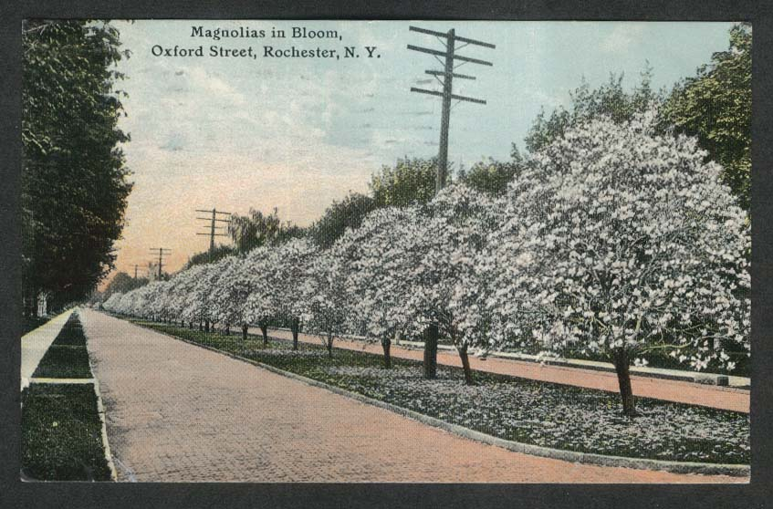 Magnolias in Bloom Oxford St Rochester NY postcard 1911