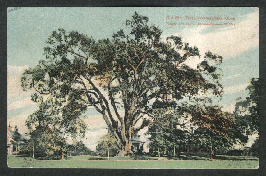 Old Elm Tree Wethersfield CT postcard 1910s