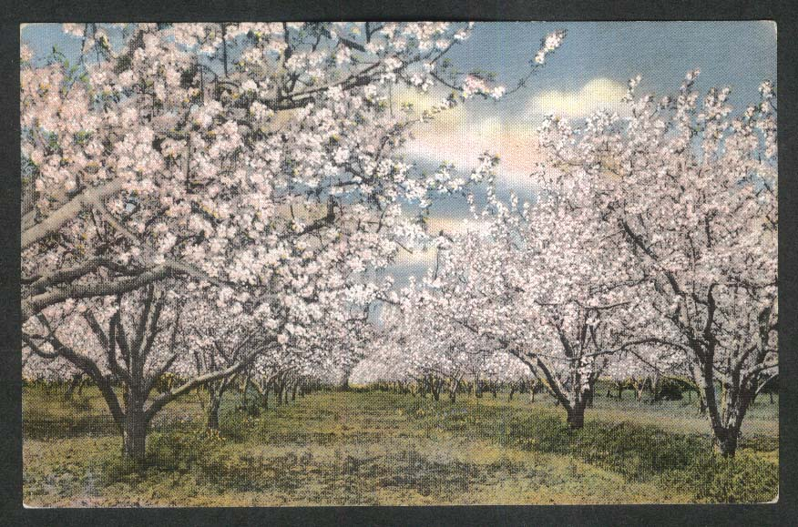 Apple Blossoms in California CA postcard 1930s