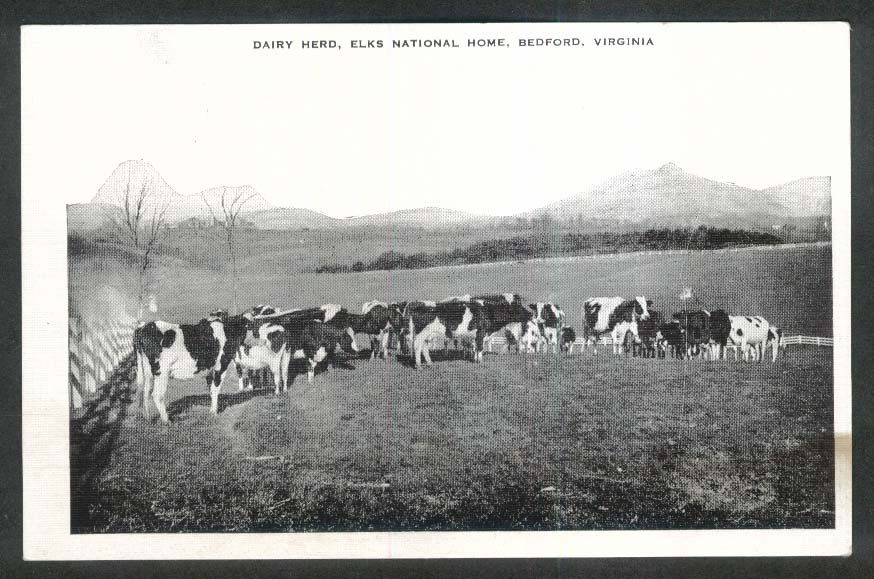 Dairy Herd Elks National Home Bedford VA postcard 1930s