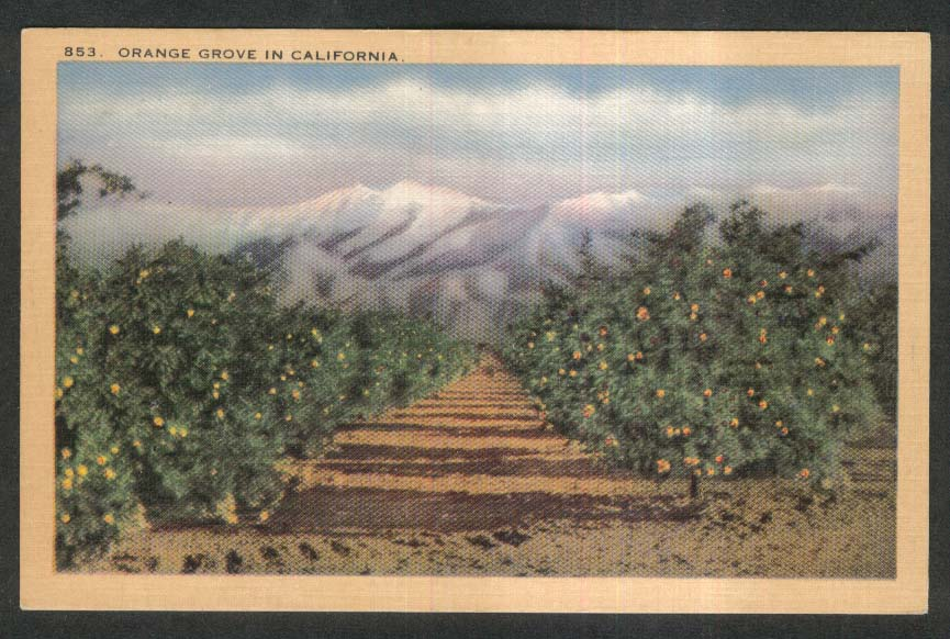 Orange Grove in California postcard 1930s