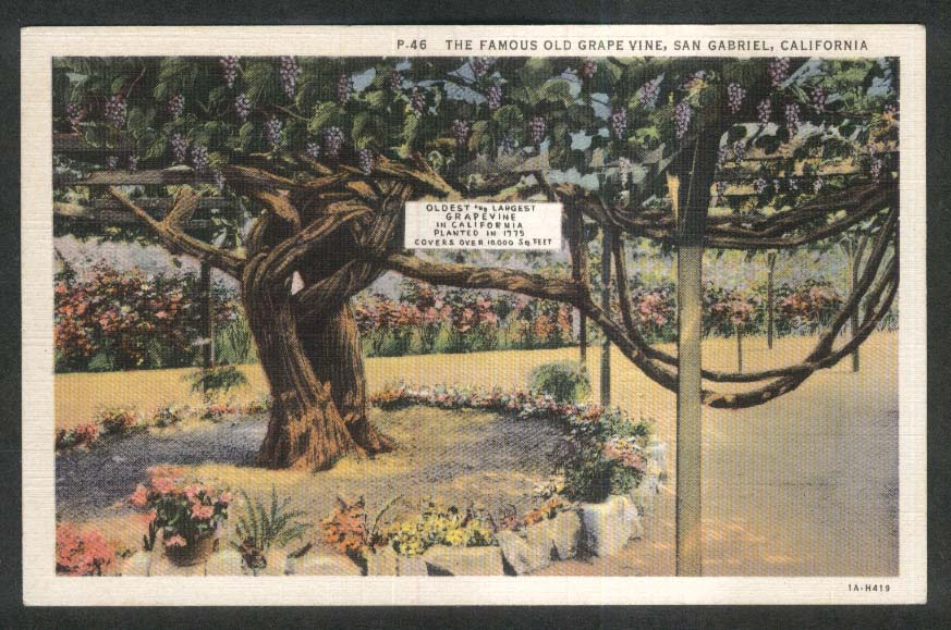 The Famous Old Grape Vine San Gabriel CA postcard 1930s