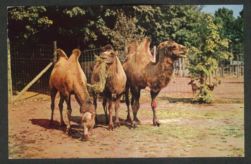 Two-Humped Bactarian Camels Catskill Game Farm NY postcard 1950s
