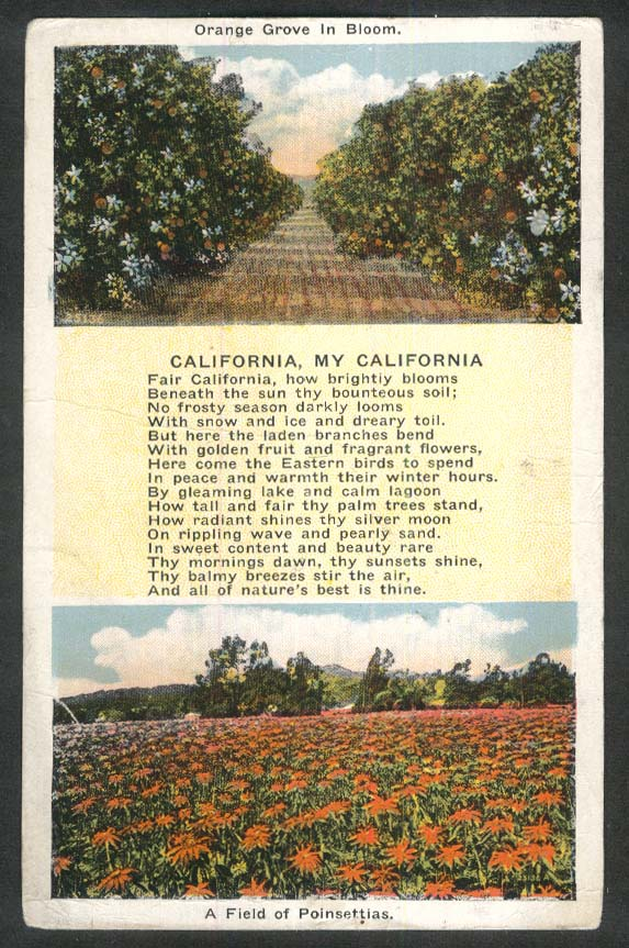 Orange Grove & Field of Poinsettias California CA postcard 1927