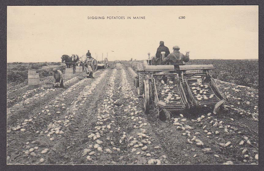 Image for Digging Potatoes in Maine postcard 1950s