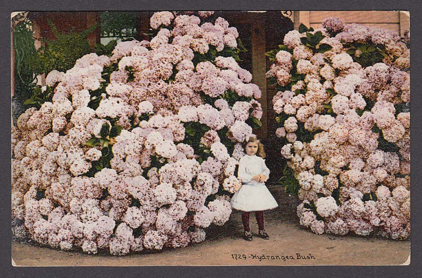 Little Girl in Hydrangea Bush postcard 1910s