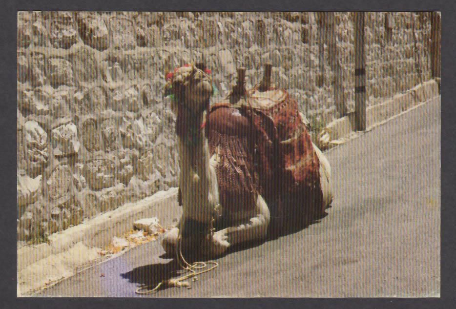 Camel in Jerusalem Israel postcard 1970s