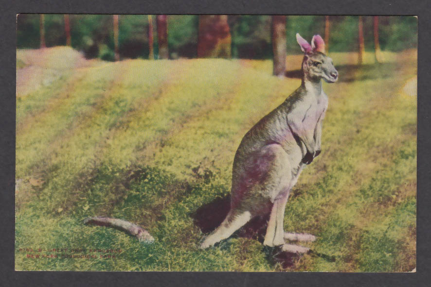 Image for Great Gray Kangaroo New York Zoological Park postcard 1920s