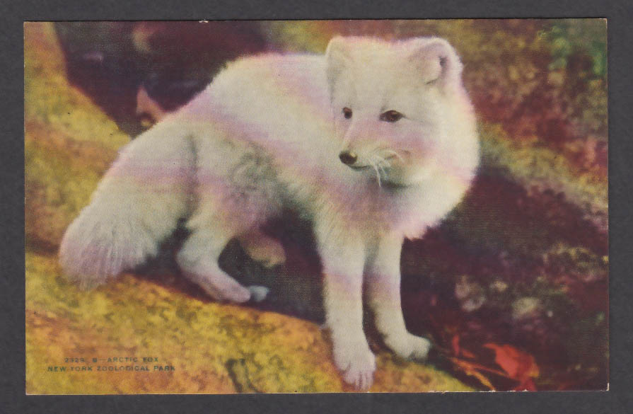 Image for Arctic Fox New York Zoological Park postcard 1920s