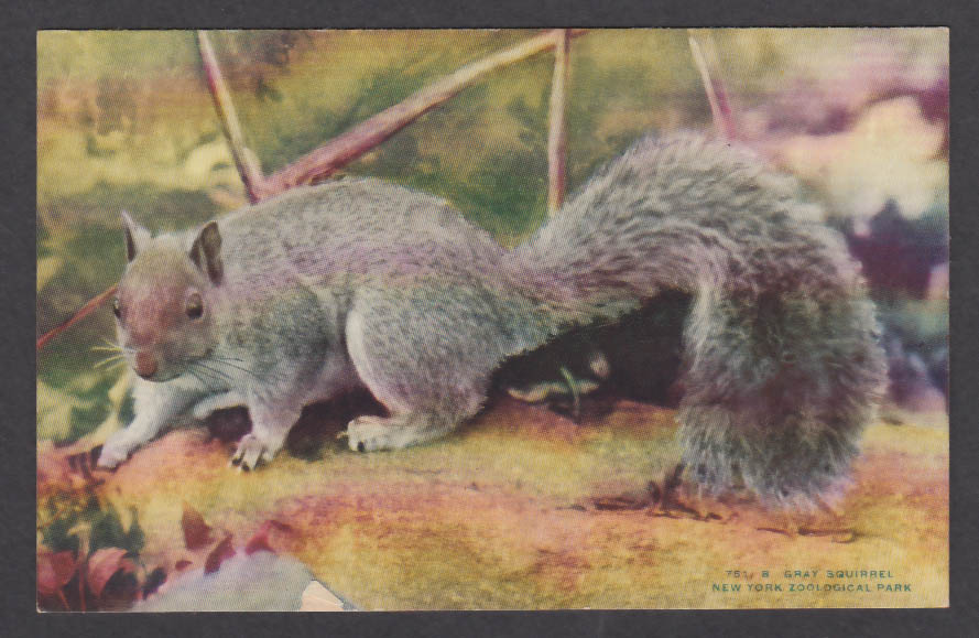 Image for Gray Squirrel New York Zoological Park postcard 1920s