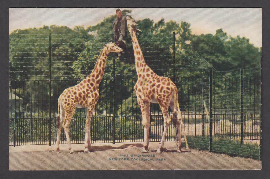 Image for Giraffes New York Zoological Park postcard 1920s