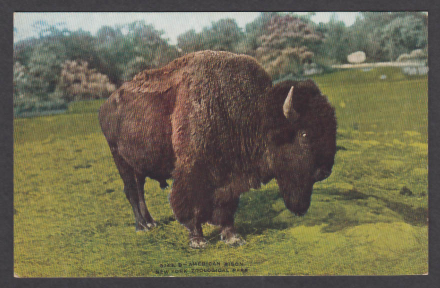 Image for American Bison New York Zoological Park postcard 1920s