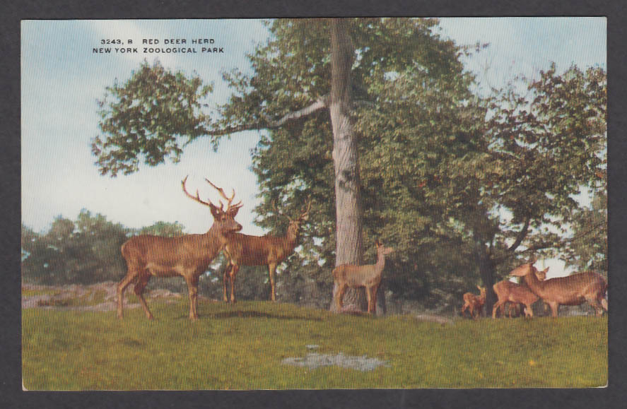 Image for Red Deer Herd New York Zoological Park postcard 1920s