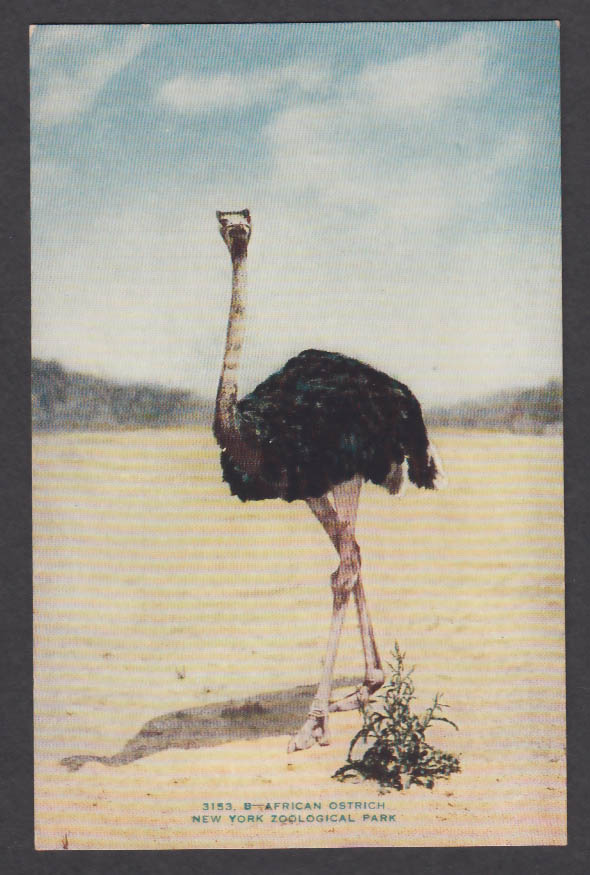 Image for African Ostrich New York Zoological Park postcard 1920s