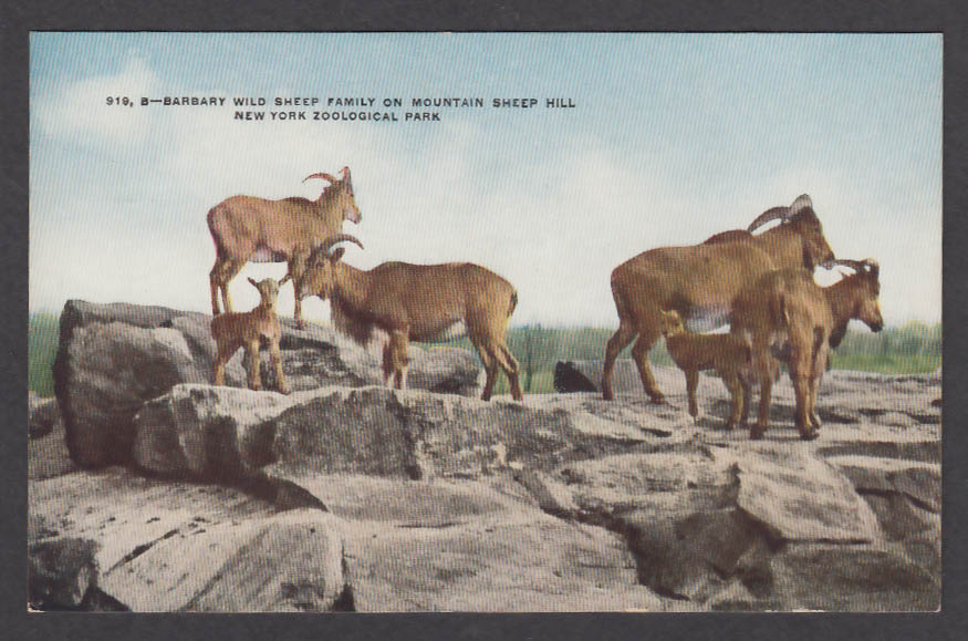 Image for Barbary Wild Shep Family New York Zoological Park postcard 1920s
