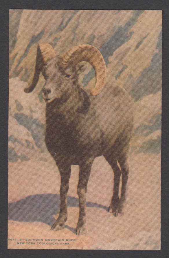 Image for Big-Horn Mountain Sheep New York Zoological Park postcard 1920s