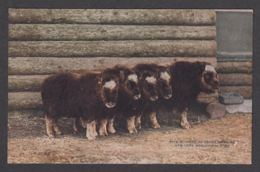 Image for Herd of Young Musk Ox New York Zoological Park postcard 1920s