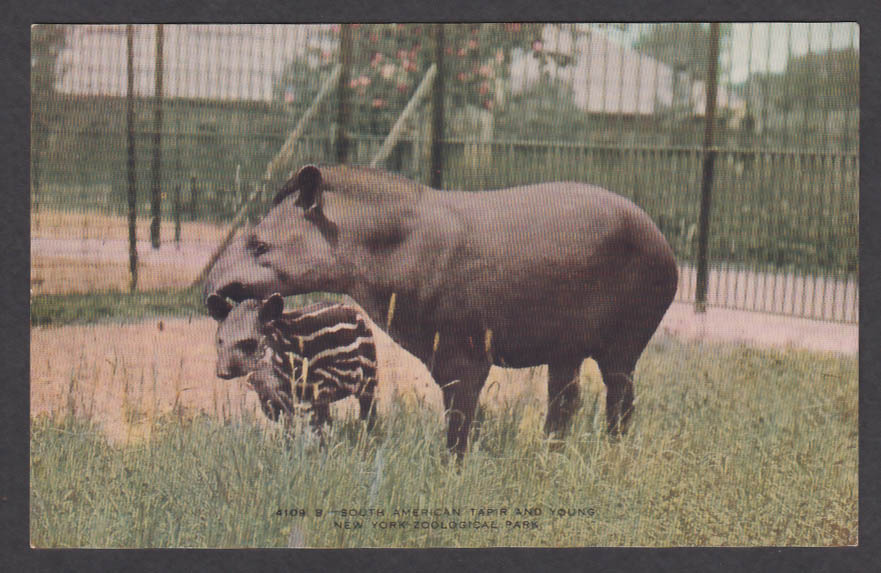 Image for South American Tapir & Young New York Zoological Park postcard 1920s