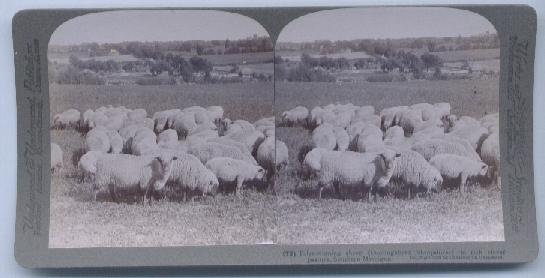 Concord Michigan Shropshire sheep stereoview 1903