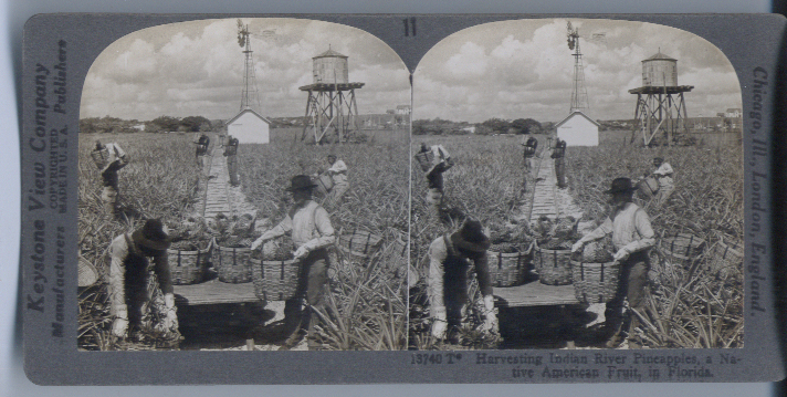 1920s Stereoview Harvesting Pineapple FL